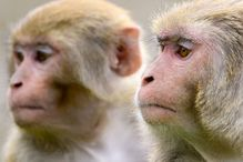 """We used macaques because it is impossible to conduct this experiment on humans for obvious ethical reasons,"" explained Professor Luis Barreiro, who co-led the study."