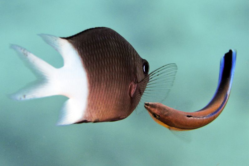 A spiny chromis waits patiently as a cleaner wrasse inspects its fins and body for parasites.