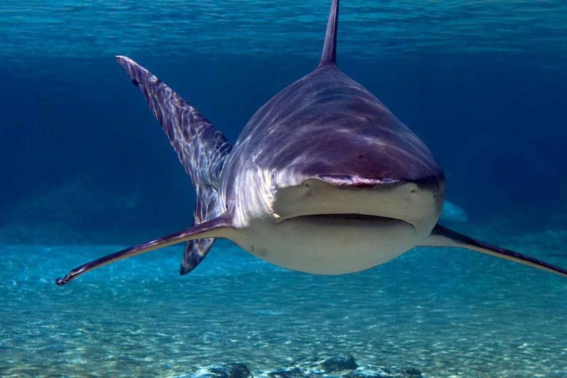 Attaques de requin sur les c tes de la r union l activit - Photo de requin tigre a imprimer ...