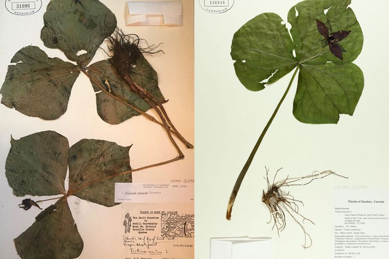 Two specimens – one from 1959-60 (left), the other from 2012-2015 – of the same species of trillium collected at the Mont St-Hilaire nature preserve.