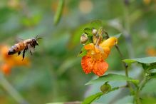 Bee flying towards a Cape jewelweed (Impatiens capensis) flower.