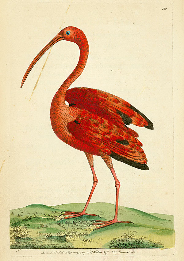 Frederick Polydore Nodder, Ibis rouge,  tiré de The Naturalist's Miscellany, 1792