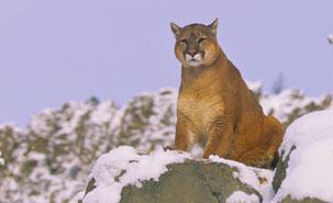 b3cb33dd2f8d3 Pas de doute possible   le cougar rôde dans les forêts de Gaspésie